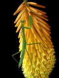 Praying Mantis on Red Hot Poker Plant  Rochester Hills  Michigan  USA