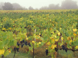 Vineyard at Harvest Time in Fog  Tuscany  Italy