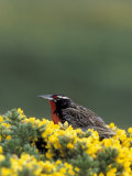 Long Tailed Meadowlark Forages for Food on Gorst Bushes  West Point Island  Falklands