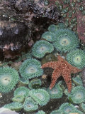 Giant Green Anemones and Ochre Sea Stars  Oregon  USA