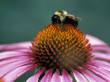 Golden Northern Bumblebee on Coneflower