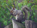 Grey Squirrel on Fencepost