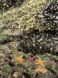 Mussels  Gooseneck Barnacles  Pisaster Sea Stars and Green Anemones on the Oregon Coast  USA