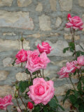 Pink Roses Against Stone Wall  Burgundy  France