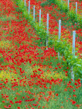 Colorful Red Poppies of Tuscany  Italy