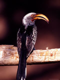 Eastern Yellow-Billed Hornbill  Africa