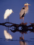 Great Egret and Great Blue Heron on a Log in Morning Light