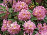 Rhododendron Garden  Portland  Oregon  USA