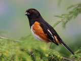 Male Rufous-Sided Towhee