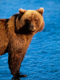 Brown Bear in Katmai National Park  Alaska  USA