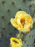 Prickly Pear Cactus Flower  Saguaro National Park  Arizona  USA