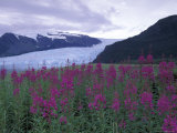 Fireweed in Aialik Glacier  Kenai Fjords National Park  Alaska  USA