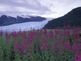 Fireweed in Aialik Glacier  Kenai Fjords National Park  Alaska  USA