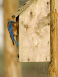 Male Eastern Bluebird on Bird Box  Florida  USA