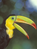 Keel Billed Toucan  Costa Rica