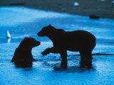 Brown Bear Silhouette in Katmai National Park  Alaska  USA