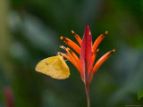 Cloudless Sulphur on Red Plant  Panama