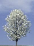 Bradford Pear in Full Bloom  Louisville  Kentucky  USA