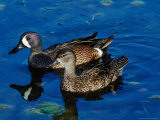 Blue-Winged Teals  Sanibel Island  Ding Darling National Wildlife Refuge  Florida  USA