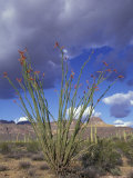 Flowering Ocotillo with Saguaro  Organ Pipe Cactus National Monument  Arizona  USA