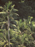 Palms on Cocos Island  Costa Rica