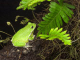 Barking Treefrog on Limb with Resurrection Fern  Florida  USA