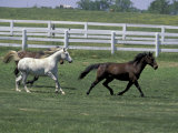 Thoroughbred Horses Running  Kentucky Horse Park  Lexington  Kentucky  USA