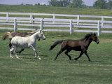 Thoroughbred Horses Running  Kentucky Horse Park  Lexington  Kentucky  USA