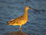 Long-Billed Curlew  Florida  USA