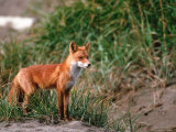 Red Fox  Alaska Peninsula  Alaska  USA