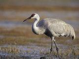 Pastureland  Sandhill Crane  Florida  USA