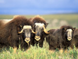 Muskoxen Browse on Willow Shrubs  Arctic National Wildlife Refuge  Alaska  USA