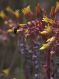 Bee Polinating Rock Echeveria  Superstition Mountain Wilderness Area  Arizona  USA