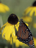 Queen Butterfly on Black-Eyed Susan  Florida  USA