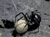 Black Widow Spider and Egg  Machu Picchu  Peru