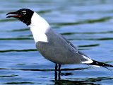 Laughing Gull in Breeding Plumage  Florida  USA