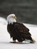 Bald Eagle on the Chilkat River  Valley Of The Eagles  Haines  Alaska