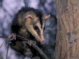 Opossum  Huara  Lima