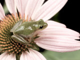 Squirrel Treefrog on Echinacea Flower  Florida  USA