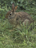 Eastern Cottontail Rabbit  Jessamine County  Kentucky  USA