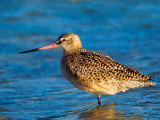 Marbeled Godwit  Florida  USA