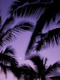 Palm Trees with Moon  Hawaii  USA