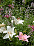 Pink and White Asiatic Lilies  Reading  Massachusetts  USA
