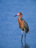 Reddish Egret in Breeding Plumage  Sanibel Island  Ding Darling National Wildlife Refuge  Florida