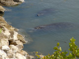 Manatees in Intercoastal Waterway  Merritt Island National Wildlife Refuge  Florida  USA
