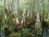Cypress Swamp  Corkscrew Audubon Sanctuary  Naples  Florida  USA
