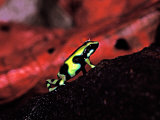 Green and Black Poison Dart Frog in Tropical South and Central America