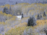 Aspen and Fir in Snow  Kebler Pass  Colorado  USA
