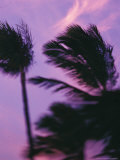 Palms at Sunset  Hawaii  USA