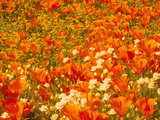 Poppies and Cream Cups  Antelope Valley  California  USA